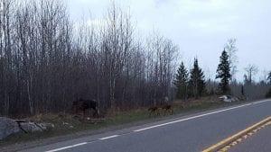 Laura's moose May 2016 (2)